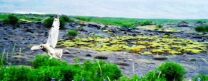 Weiße Eule Island